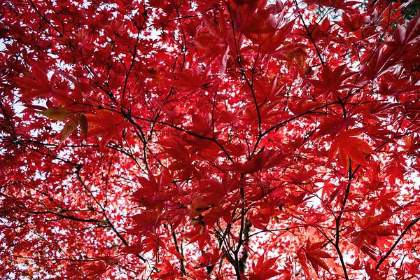 Kubota Garden Fall Maple Trees