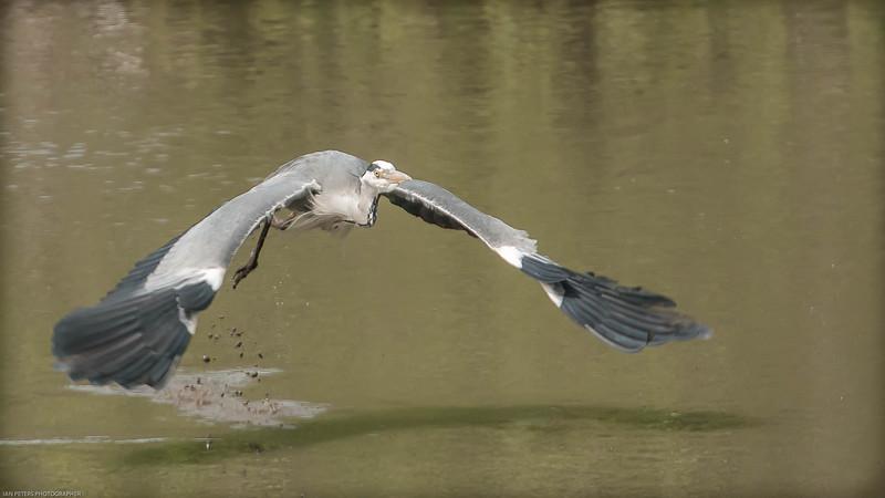 Heron takeoff-7964.jpg