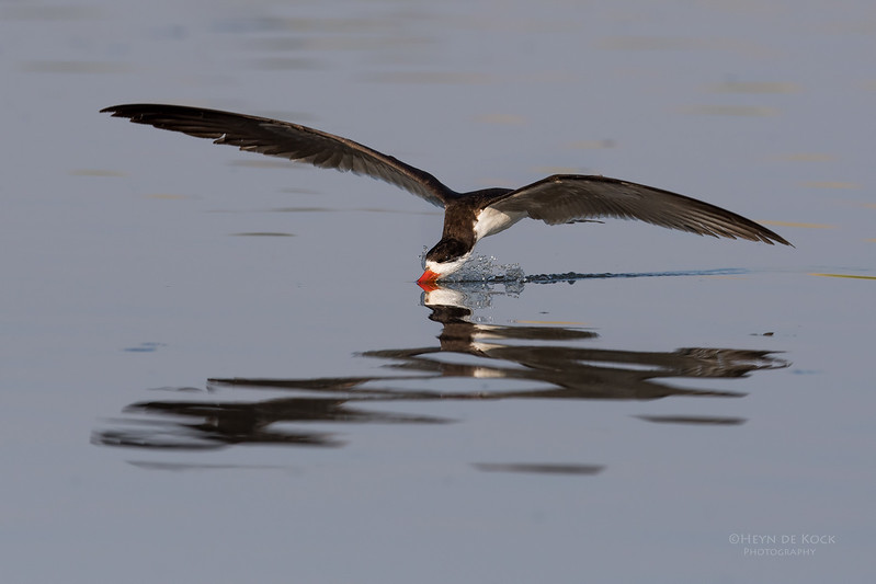 African Skimmer, Chobe River, NAM, Oct 2016-2.jpg