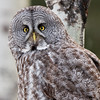 Great Grey Owl - Water Valley