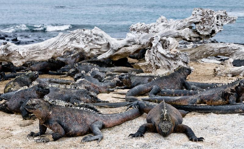 Marine Iguanas at Punta Espinoza, Fernandina Island