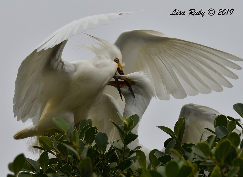 Snowy Egret feeding young in nest tree  - 6/24/2019 - Imperial Beach Sports Park