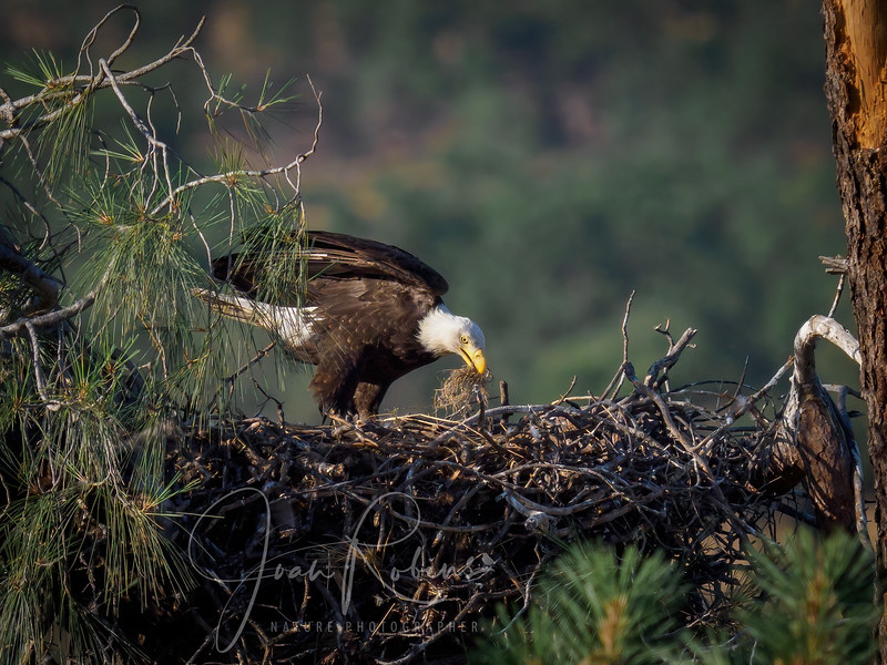 Eaglets have fledged, but mom still rearranging the nest