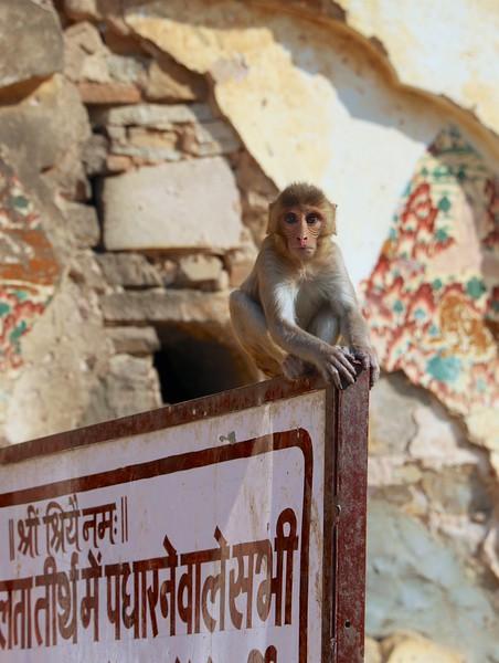 Galta ji - Monkey Temple