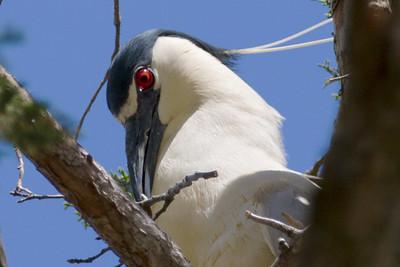 White Crowned Night Heron