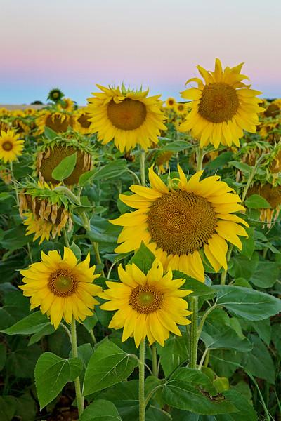 sunflowers vert pink sky.jpg