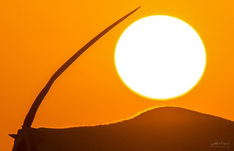 Arabian Oryx (75).jpg