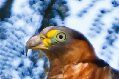 Hook-billed Kite at Juan Guerra, Tarapoto, Peru (07-03-2010) 477-1.jpg