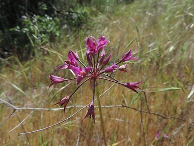 Peninsular Onion (Allium peninsulare)