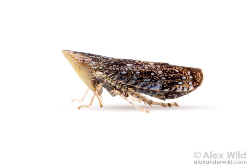 Scaphytopius frontalis