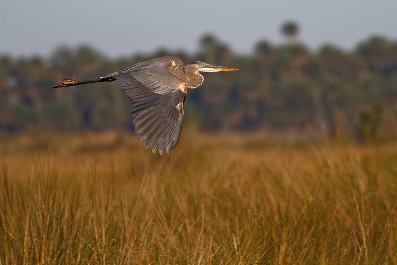 Great Blue Heron in flight over Lake Woodruff NWR