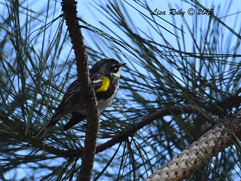 Myrtle Yellow-rumped Warbler -  4/11/2015 - Stonewall Mine trails