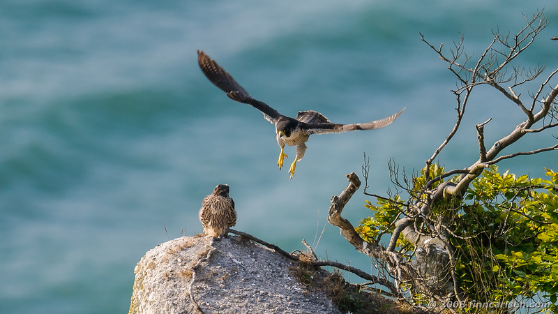 Vandrefalk - Falco peregrinus - Peregrine Falcon