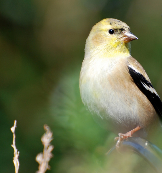 goldfinch1.jpg