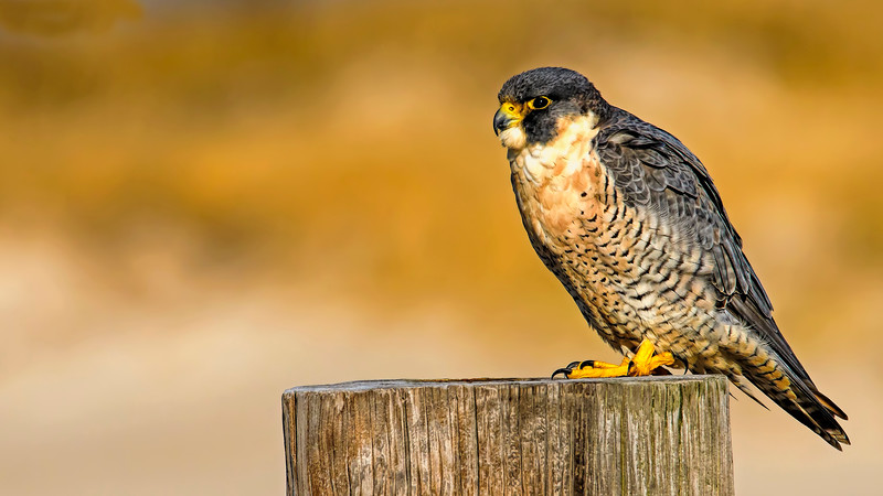 Peregrine_WallpaperDSC_2758.jpg