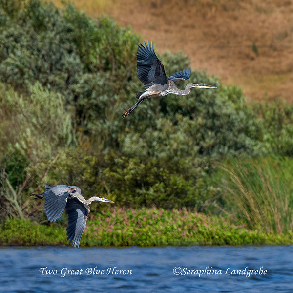 _DSC9579Two Great blue herons.jpg