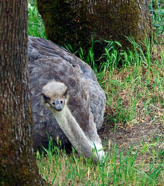 Nobody can see me here. At Safari West, Santa Rosa, CA
