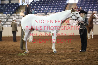 27. APHA - Perf Halter Geldings All Ages