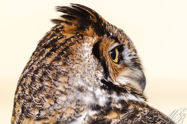 Owls, Nighthawks and Nightjars