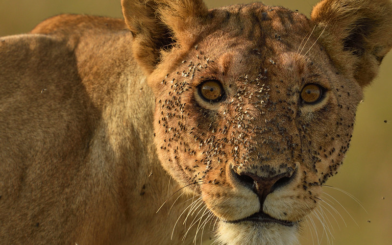 Irritated-by-the-fleas-lioness-masaimara.jpg