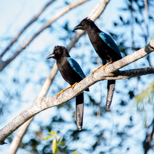 Would love to know what they're staring at. Beautiful Yucatan Jays found in Mayakoba, Mexico