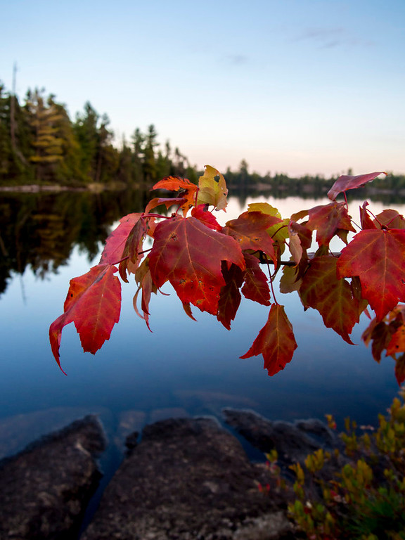 . Fall color was in full display on a young maple tree situated on a South Hegman Lake island. (Pioneer Press: Andy Rathbun)