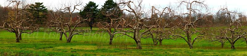apple trees panorama.jpg