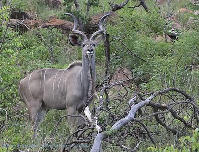 Koedoe; Graeter kudu; Tragelaphus strepsiceros; Grand koudou; Grosser Kudu
