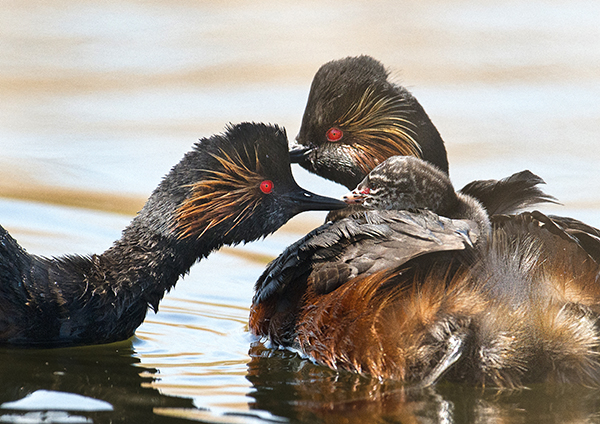 Black Necked Grebe parents and chicks, St Aidans, Swillington, Yorkshire