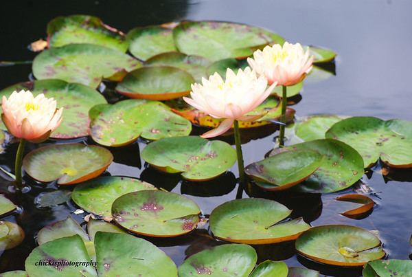 Dragonflies and Lillies