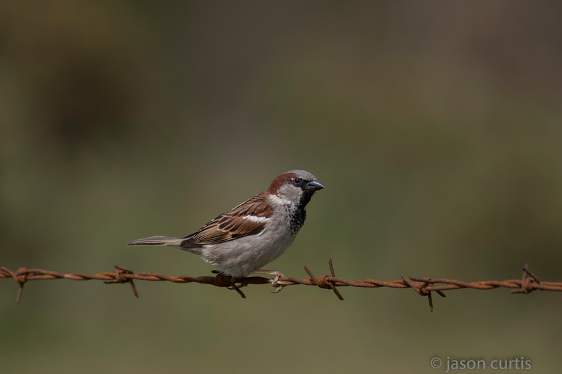 HouseSparrow003-1548.jpg