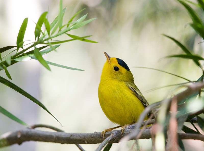 Wilson's Warbler (Who's that phishing?)