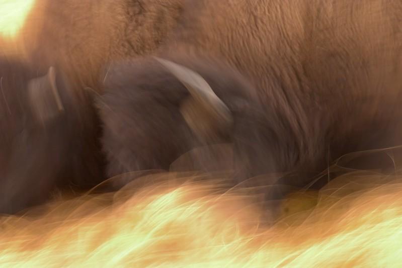 Bison Butting Heads blur 762_6208.jpg