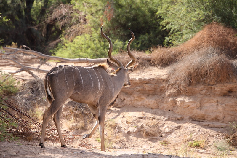 Kudu in dry Huab riverbed