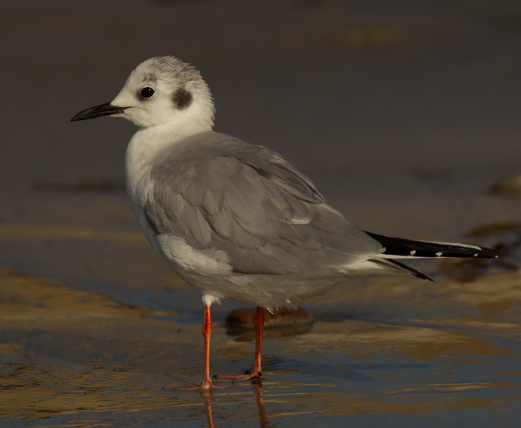 Bonapart Gull Carlsbad 2014 02 25-1.CR2