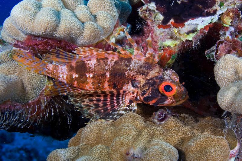 Hawaiian Lionfish 1.jpg