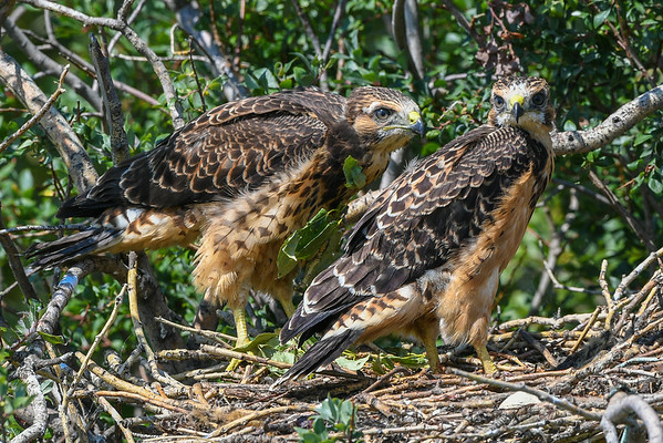 8-5-16 *^Young Swainson's Hawks - Ready To Fly