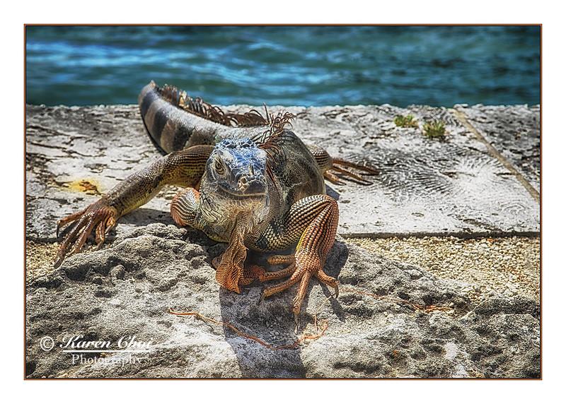 Iguana 1 sm.jpg
