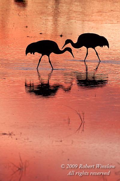 Evening, Sunset, Sandhill Cranes, Grus canadensis, Bosque del Apache National Wildlife Refuge, New Mexico, USA, North America