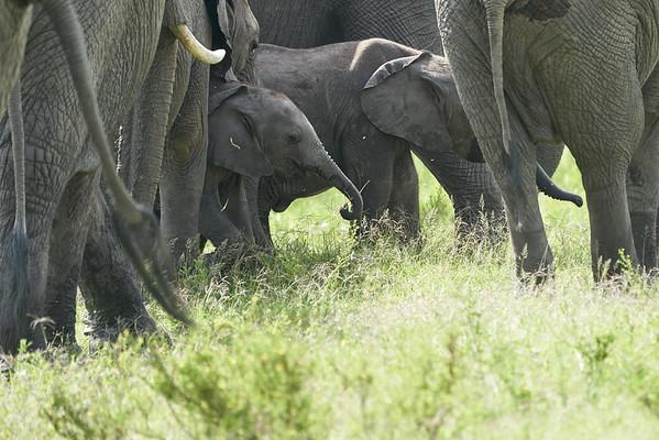 Elephants Mara Marsh Kenya 2018