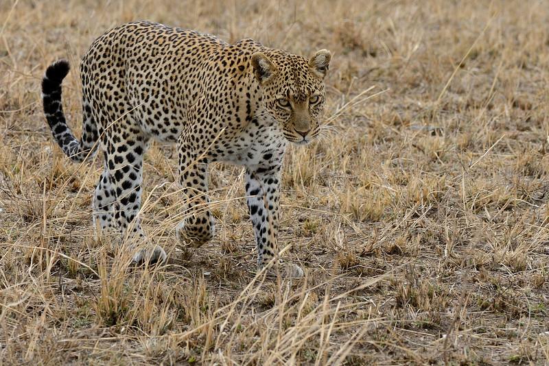 Leopard-02.jpg