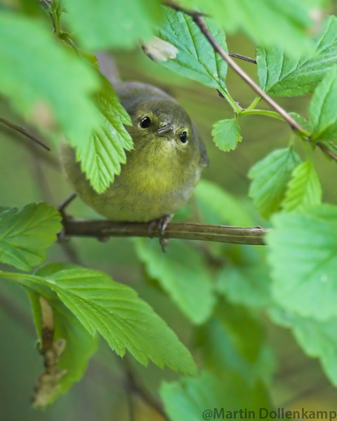 Golden-crowned Warbler, gleaning tiny worms from the Ocean Spray. Good example why not to use pesticides.