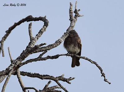 San Dieguito Monthly Bird Count - 7/10/2016