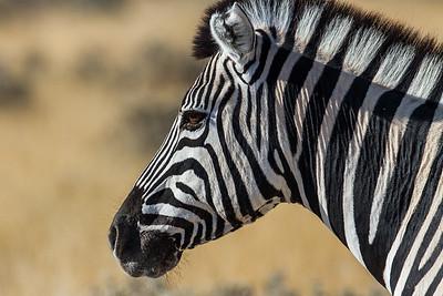 Namibia Mammals III: Perissodactyla & Hydracoidea