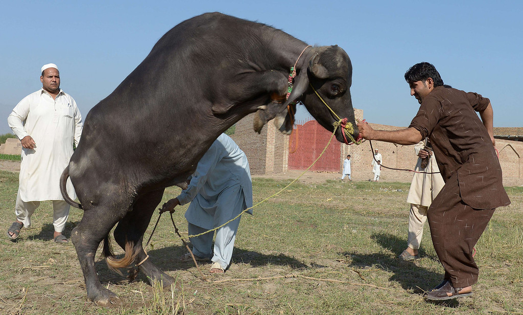 . Pakistani tribesmen prepare to slaughter a buffalo after offering Eid al-Adha prayers on the outskirts of Peshawar on October 15, 2013.  AFP PHOTO/ A. MAJEED/AFP/Getty Images