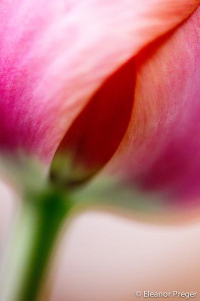 Pornj Tulip