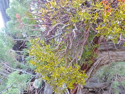 Juniper Mistletoe (Phoradendron juniperinum)