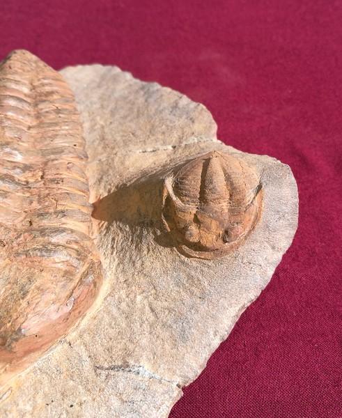 #8231 Giant Pradoella tazzarinensis + Asaphellus sp. Fossil Trilobite plate (13,6 cm - Pradoella;  5,9 cm - Asaphellus)