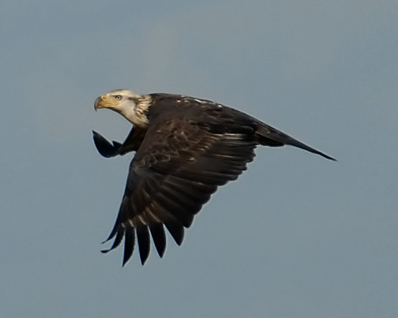 Eagles Galliers