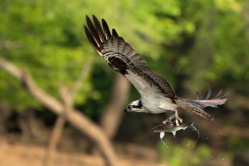 Osprey in Flight_DSC9421.jpg
